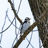 Female Downy Woodpecker (Picoides pubescens)