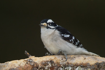 Downy Woodpecker - Female - Sax-Zim Bog, Nr. Duluth, MN, USA
