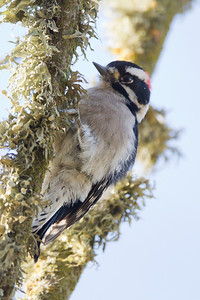 Downy Woodpecker - Lodi, CA, USA