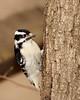Downy woodpecker @ Highbanks Metro Parks - Winter 2009