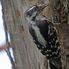 Downy Woodpecker in my Yard - May 2013