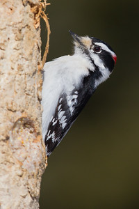 Down Woodpecker - Sax-Zim Bog, Nr. Duluth, MN, USA