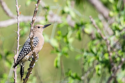 Gila Woodpecker - Baja California, Mexico