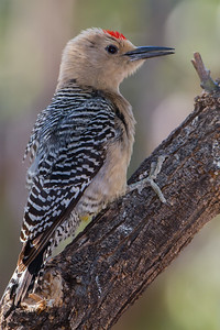 Gila Woodpecker - Ash Canyon B&B, Hereford, AZ, USA