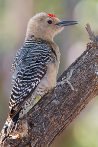 Gila Woodpecker - Sierra Vista, AZ, USA