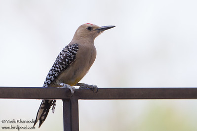 Gila Woodpecker - San Pedro House - Sierra Vista, AZ, USA