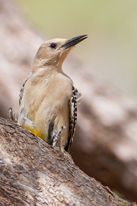 Gila Woodpecker - Hereford, AZ, USA