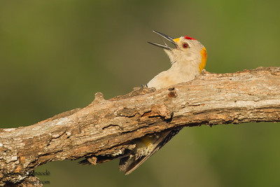 Golden-fronted Woodpecker - Laguna Seca Ranch, Edinburg, TX, USA
