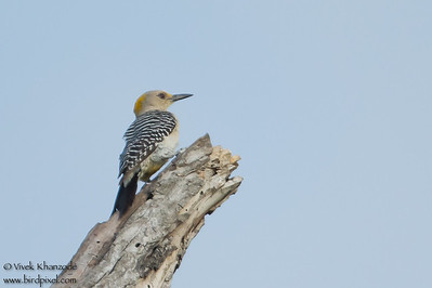 Golden-fronted Woodpecker - Bentsen - Rio Grande Valley State Park, Mission, TX, USA