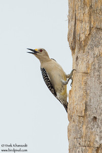 Golden-fronted Woodpecker - Female - Weslaco, TX, USA