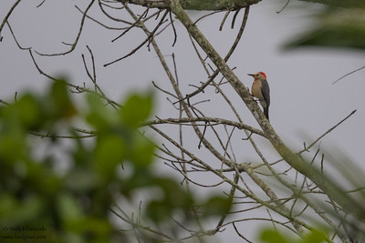 Golden-fronted Woodpecker - Record - Crooked Tree, Belize