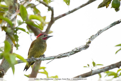 Golden-Olive Woodpecker - Cartago, Costa Rica