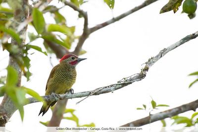 Golden-Olive Woodpecker - Cartago, Costa Rica
