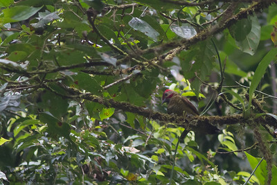 Golden-olive Woodpecker - Record - Costa Rica