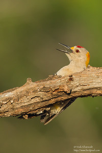 Golden-fronted Woodpecker - Edinburg, TX, USA
