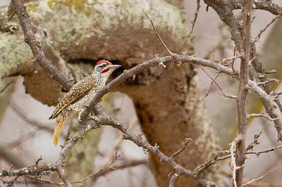 Golden-tailed Woodpecker - Tarangire National Park, Tanzania
