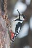 Great Spotted Woodpecker - Hokkaido, Japan