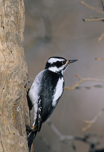 Hairy Woodpecker-150