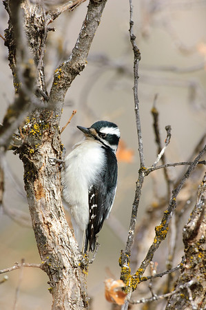 Hairy Woodpecker-118