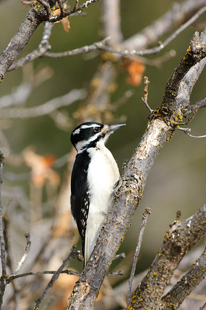 Hairy Woodpecker-117