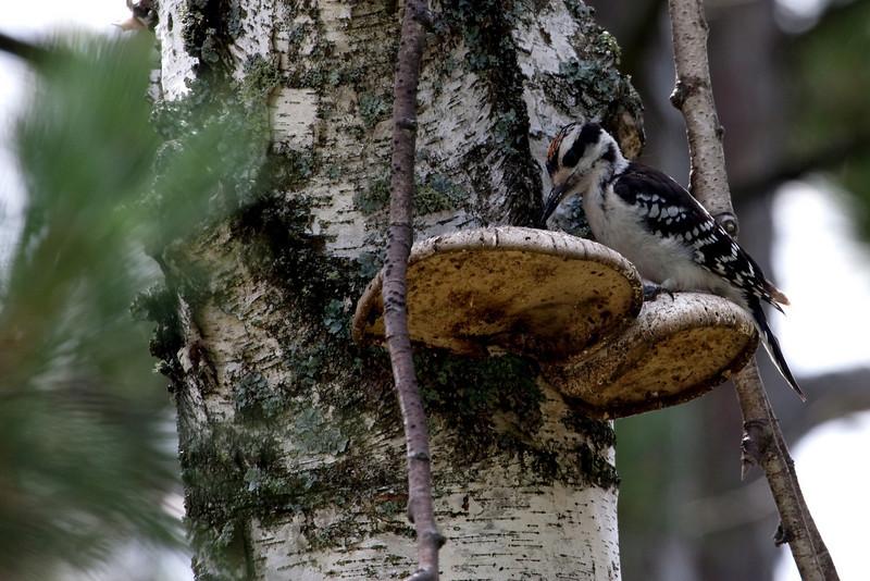Hairy Woodpecker @ Seney Wildlife Area, MI - August 2009