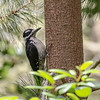 Hairy Woodpecker @ Pt. Lobos State Reserve - July 2017