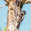 Hairy Woodpecker - Presque Isle County, MI, May 2016