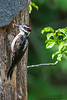 Hairy Woodpecker - Cupertino, CA, USA