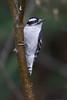 Hairy Woodpecker - Male - Grayling, MI, USA