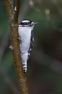 Hairy Woodpecker - Male - Grayling, MI, USA