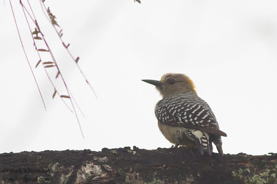 Hoffman's Woodpecker - Record - Costa Rica