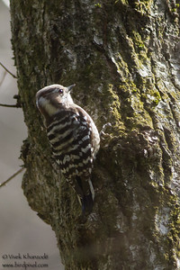 Pygmy Woodpecker - Record - Mt. Takao-san, Japan