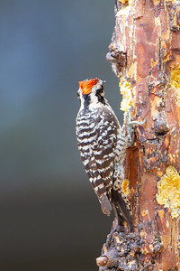 Ladder-backed Woodpecker - Hereford, AZ, USA