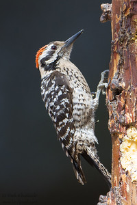 Ladder-backed Woodpecker - Male - Ash Canyon B&B, Hereford, AZ, USA