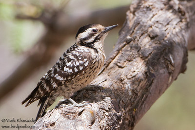 Ladder-backed Woodpecker - Ash Canyon B&B, Hereford, AZ, USA