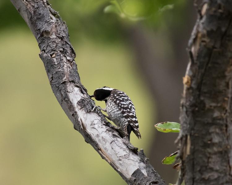4-23-16 Ladderback Woodpecker - Gage Gardens - Marathon, TX-140
