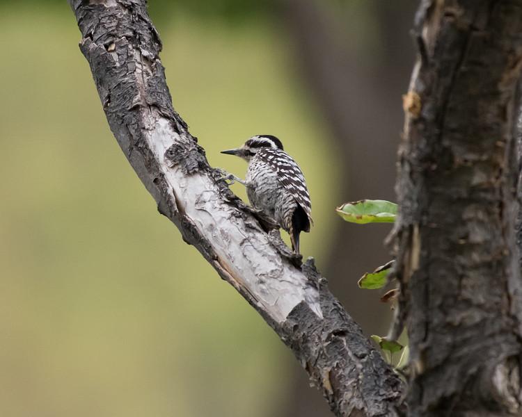 4-23-16 Ladderback Woodpecker - Gage Gardens - Marathon, TX-139