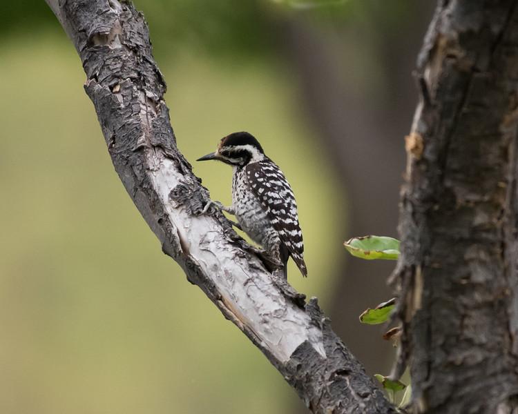 4-23-16 Ladderback Woodpecker - Gage Gardens - Marathon, TX-141