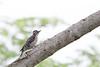 Ladder-backed Woodpecker - Brownsville, TX, USA