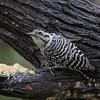 Ladder-backed Woodpecker @ Salineno, TX - Feb 2014