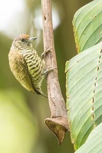 Lafresnaye's Piculet - Sumaco, Ecuador