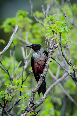 Lewis' Woodpecker-5286
