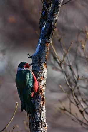 Lewis' Woodpecker-