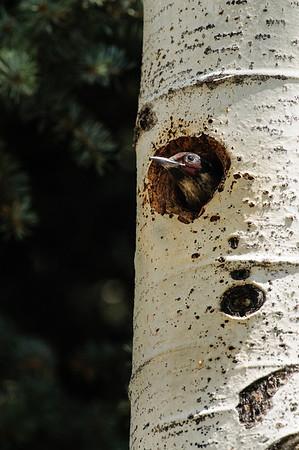 Lewis' Woodpecker-5834
