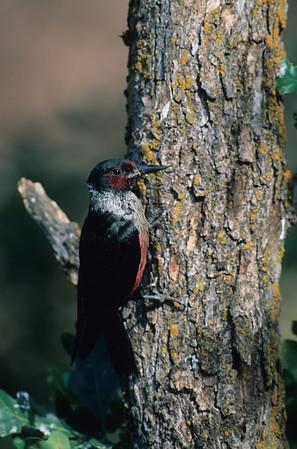 Lewis' Woodpecker-02