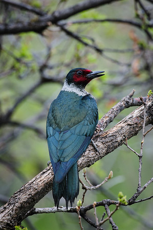 Lewis' Woodpecker-5296
