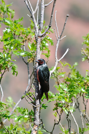Lewis' Woodpecker-4068