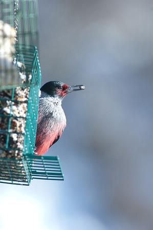 Lewis' Woodpecker-4