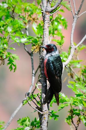 Lewis' Woodpecker-4079