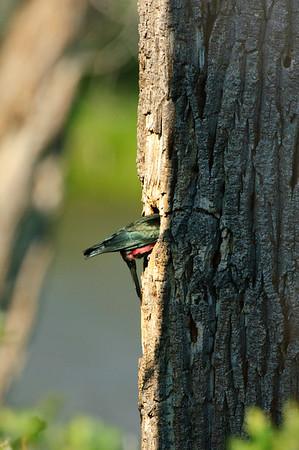 Lewis' Woodpecker-1957